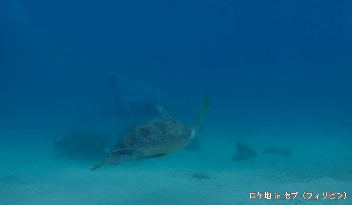 セブで出会ったアオウミガメ